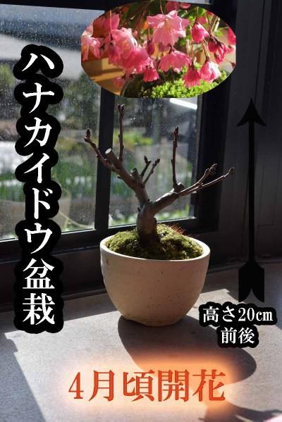 ハナカイドウ桜盆栽