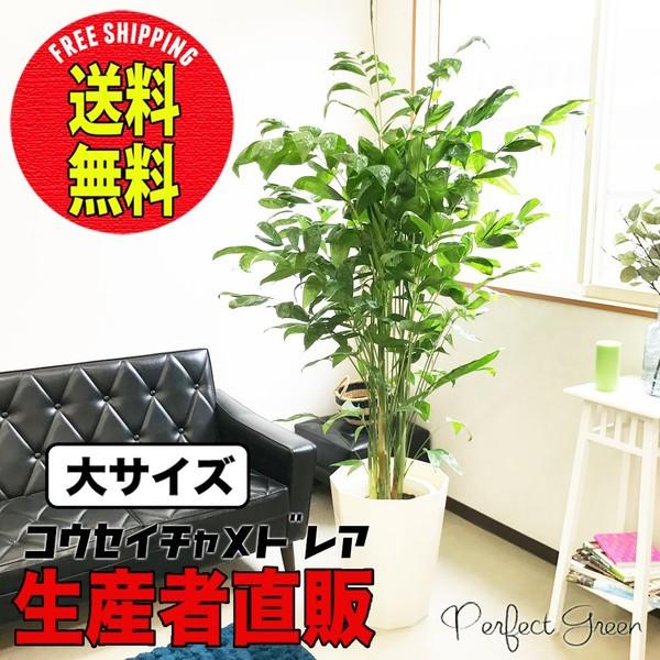 高性チャメドレア ヤシの木 大サイズ 大鉢 10号鉢 送料無料 観葉植物 ヤシ コウセイチャメドレア 大型 在庫限り