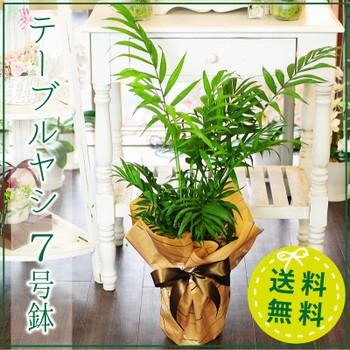 テーブルヤシ 7号鉢 アレカヤシ 観葉植物【送料無...