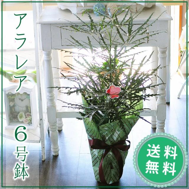 アラレア (ディジゴセカ) 6号鉢 観葉植物【送料...