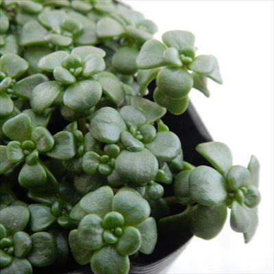 seセダム オレガナム 多肉植物 セダム 9cmポット(...