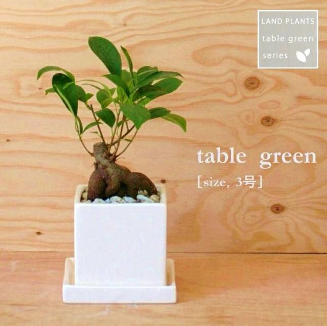 new!! がじゅまる コンパクトなスクエア陶器鉢に植えた ガジュマルの樹 Sサイズ 人参 ニンジンガジュマル