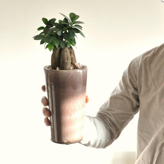 【 観葉植物 】 モーブ色 アンティーク風ポットに植えた ガジュマル