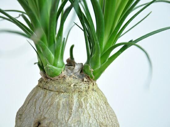 new!! トックリラン「ノリナ」 白色丸型陶器鉢に植えた 幹の太い ポニーテール 子ぶたのしっぽ