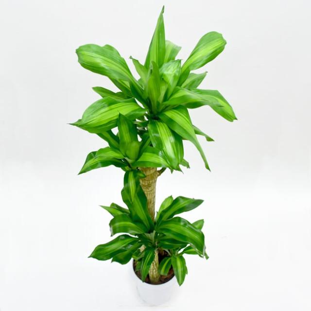 【装飾プレゼント】中型8号 別名「幸福の木」マッサンでHAPPY♪ドラセナ マッサン(選べる鉢カバーA・B・C付き)