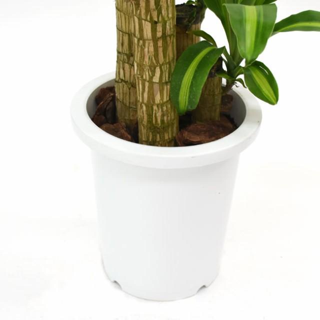 【装飾プレゼント】中型8号 別名「幸福の木」マッサンでHAPPY♪ドラセナ マッサン