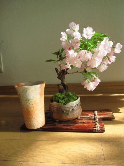 盆栽:桜盆栽   お花見盆栽 炎彩信楽コップ付き