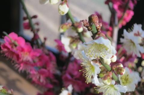 梅盆栽 【盆栽】信楽焼き入り紅白梅盆栽   2018年3月頃開花   おめでたい紅白梅