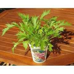 FOREST カップサラダ 水菜(1セット)(発送可能時期:3-7日(通常))[種子・球根]