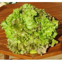 FOREST カップサラダ リーフレタス(1セット)(発送可能時期:1週間-10日(通常))[種子・球根]