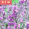 全草に香りがあり、化粧品などにも利用される ハーブ缶「ラベンダー」