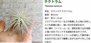 【エアープランツ】テクトラム 女王 直径約6cm インテリア 雑貨 エアプランツ チランジア エアープランツ ティランジア インテリアグリー