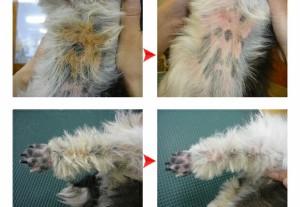 【送料無料】【大容量】マラセチア菌に効能あり PCK パーフェクト コロイド ウォッシュ ペット ナチュラル コンディショナー モ