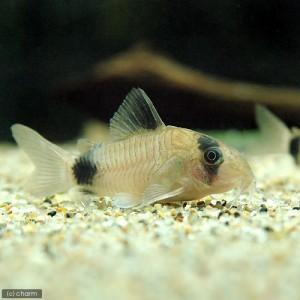 (熱帯魚)コリドラス・パンダ(3匹) 北海道・九州・沖縄航空便要保温