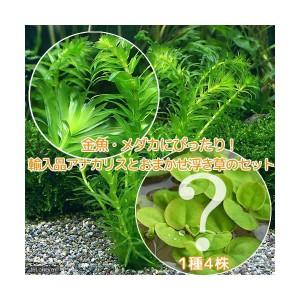 (めだか 水草)金魚藻 アナカリス(輸入品)(5本) +おまかせ浮草1種(4株)