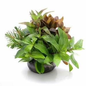 (水草)益子焼 朝摘みおまかせ寄せ植え 丈ショート(水上葉)(無農薬)(1個) おまかせ水上葉(10本) おまけ付き 北海道航空