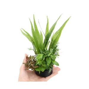 (水草)ハニカムシェルター 寄せ植えミックス Ver.ミクロ&有茎草(水上葉)(1個) 北海道航空便要保温
