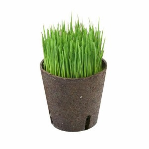 (観葉植物)イタリアンライグラス 猫草 直径8cmECOポット植え(無農薬)(ハイミニ ビビ鉢付き・グリーン)