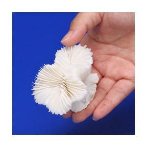 (海水魚)かざりサンゴ タイプM シングルカップ(ハナサンゴ系)(形状お任せ)