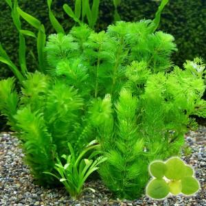 (水草)おまかせメダカ・金魚藻セット 浮草付(1パック) 北海道航空便要保温