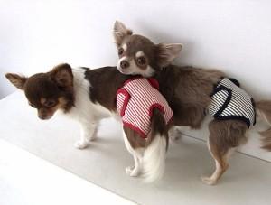 ▼【犬と生活】ストライプサニタリー1号 [レッド・ネイビー]【T】