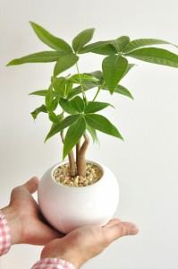 new!! パキラ 卓上サイズ 白色丸型陶器鉢の コンパクトな 3本株立ちパキラ・アクアティカ 3F