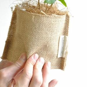 【 観葉植物 】 コーヒーの木 つやつや葉 可愛い麻袋の鉢カバーセット coffee 珈琲コーヒーノキ ギフト 苗木 ドリップ カップ