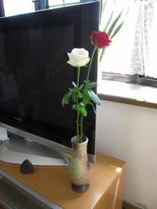 """""""紅白の薔薇  真紅の紅白バラ 信楽花瓶つき    誕生日プレゼントに紅と白の薔薇  信楽花瓶付  紅白 一輪のバラ 3980円"""""""