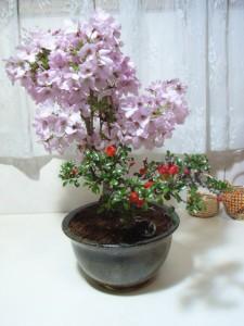 盆栽:【御殿場桜】と【長寿梅】の【寄せ植え】【送料無料】:【送料無料●大阪2】【ミニ盆栽】