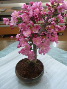 盆栽:花海棠桜  :【送料無料●大阪2】