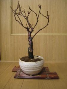 梅盆栽 【盆栽】信楽焼き入り思いのまま梅盆栽