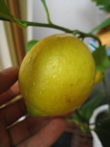 れもんの木レモン