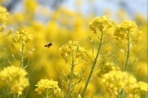 ワイルドフラワー 景観植物のたね「菜の花(ナノハナ、アブラナ、あぶらな、ナタネ、なたね) 10リットル入 【宅配便対応】