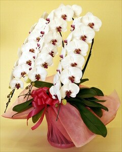 ハイクオリティー胡蝶蘭最高級品のプレミアムタイプの胡蝶蘭をご提供! 胡蝶蘭【大輪】3本立〈タイプ:プレミアム〉(代引き不可)【送料無