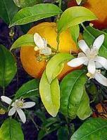 【生活の木アロマオイル】プチグレイン・ビターオレンジ精油3ml