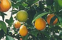 【生活の木アロマオイル】オレンジスイート精油3ml