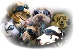 ≪人気商品≫犬用サングラス・ドッグゴーグル◇小型犬用(チワワ,ミニダックス)◇白 愛犬の目を守る【送料無料】