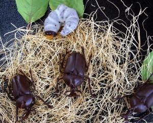 超リアル!かぶと虫の成虫チョコレート♪