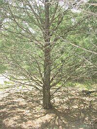 【生活の木アロマオイル】シダーウッド・バージニア 10mL