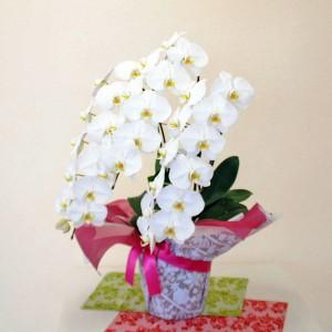 送料無料 胡蝶蘭 白 3本立ち 2Lサイズ 開店祝い 開業祝い 移転祝い 誕生日
