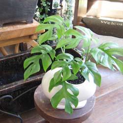 いきいき育てやすい観葉植物モンステラとビーンズ鉢(白)