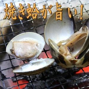 【送料無料】桑名産!肉厚!ぷりっぷりの活き蛤(はまぐり) 1kg 大size 焼き/潮汁/ギフト/ハマグリ/貝[いなべ冷蔵-f]