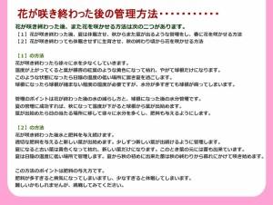 【冬の鉢花】シクラメンの鉢植え ピンク6号