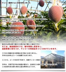 【送料無料】宮崎県より産地直送 JA宮崎中央 完熟ミニマンゴー 500gから600g (3玉から4玉)