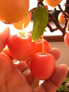 りんご鉢植え 長寿紅 プレゼントの贈り物に 花と実が楽しめる鉢植えリンゴ   予約商品 お届けは 2018年6月父の日より