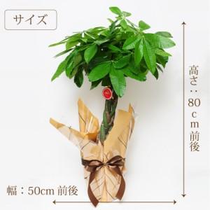 パキラ 6号鉢 観葉植物【送料無料】