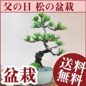 【 父の日 ギフト 盆栽 五葉松のミニ盆栽 育て方冊子と説明書付き 送料無料 松盆栽 観葉植物 贈り物 鉢植 和