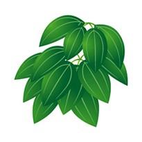 【メール便可】シナモンリーフ 10ml 【アロマオイル/精油/エッセンシャルオイル】
