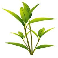 【メール便可】レモンマートル 10ml 【アロマオイル/精油/エッセンシャルオイル】