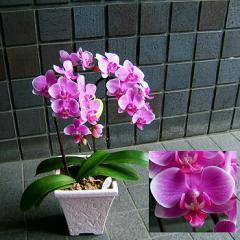 【結婚記念日 父の日 72】 プレゼントに最適 おまかせ!少輪 ピンク系 胡蝶蘭